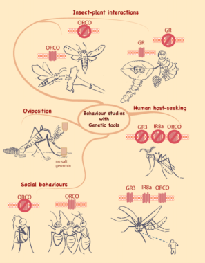 Insect Genetic Tools