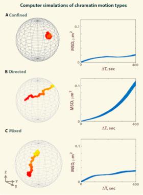 Simulations of chromatin motion