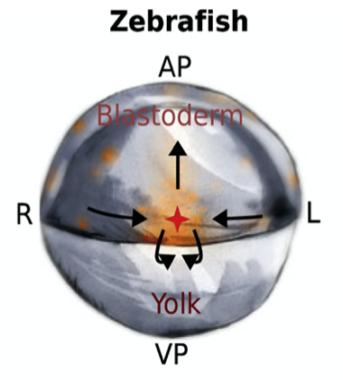 Zebrafish Gastrulation